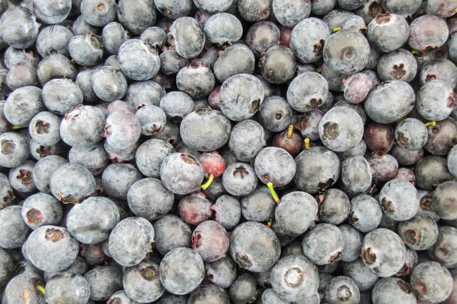 """50-Zelf blauwe bessen plukken in Blauwe bessenkwekerij """"Zeldenrust"""" in Wapse"""